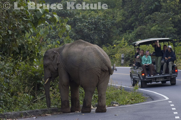 Bull elephant on the road in Khao Yai