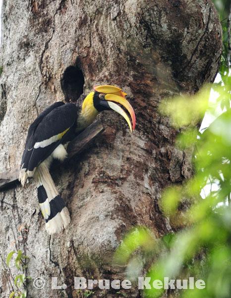 Great hornbill in Khao Yai