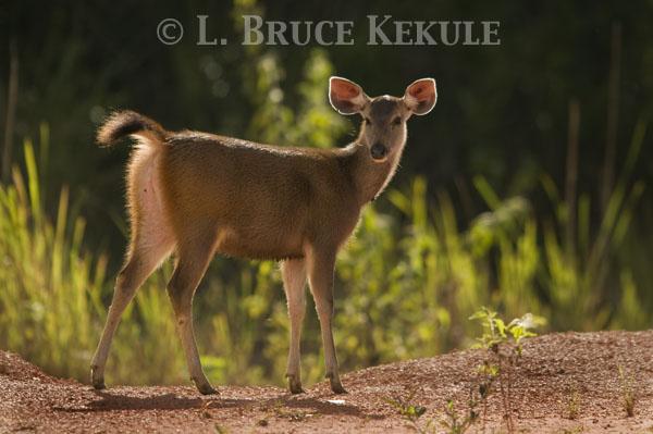 Sambar yearling in Phu Khieo Wildlife Sanctuary