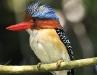 Banded-kingfisher