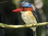 banded-kingfisher_0