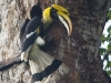 Great hornbill in Khao Yai