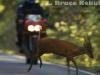 Muntjac jumping a motorcycle