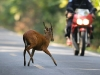 Muntjac jumping a motorcycle in Khao Yai