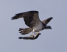 Osprey with a fish in Phu Khieo Wildlife Sanctuary
