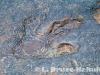 Fossil dinosaur fottprints