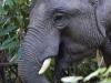 Bull elephant near the road in Khao Yai