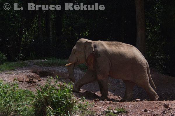 Bull elephant in a mineral lick in Khao Yai