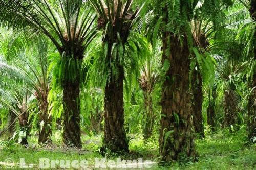 Palm oil plantation in Krabi