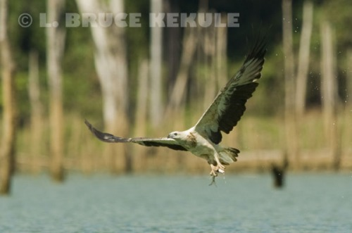 White-bellied-sea-eagle