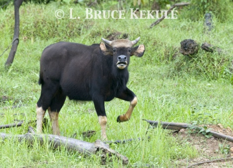 Young Gaur bull by Khlong Ya River