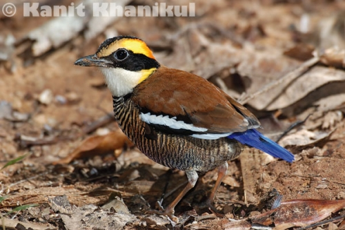 Banded pitta female in Khao Nor Chuchi