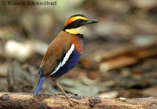 Banded Pitta male