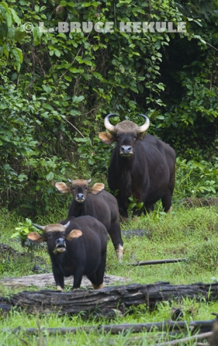 Gaur-cow-calves