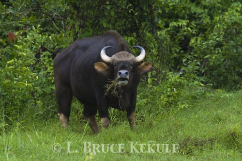 Gaur Cow in Khlong Saeng