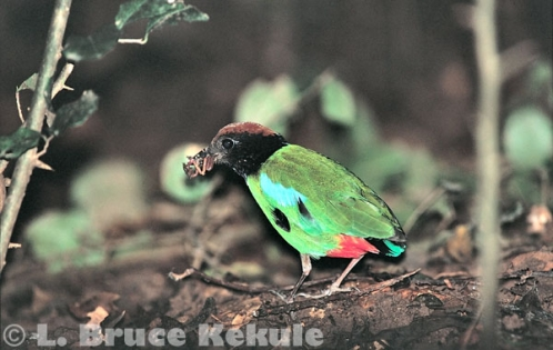 Hooded pitta in Khao Nor Chuchi