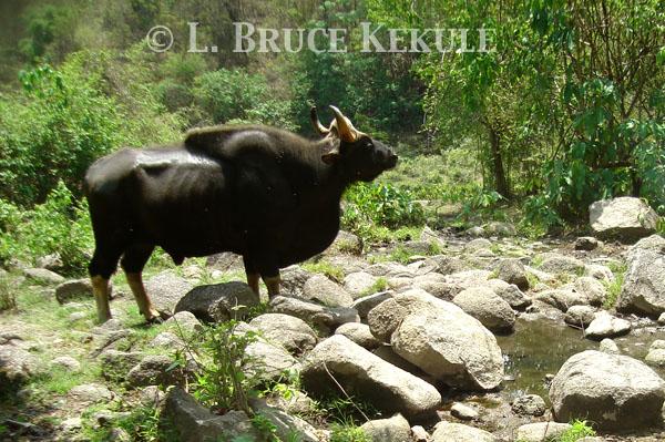 Gaur bull camera-trapped in Huai Kha Khaeng WS