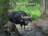 Gaur camera-trapped in Kaeng Krachan NP