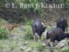 Gaur herd at mineral lick in Huai Kha Khaeng WS