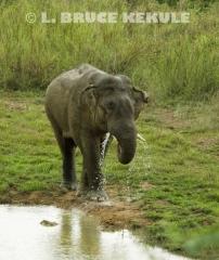 Bull Elephant