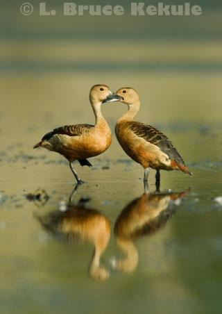 Lessor whistling ducks in Khao Ang Rue Nai