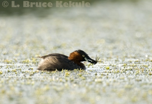 Little grebe with a bug in Khao Ang Rue Nai