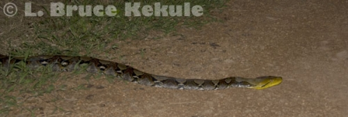 Burmese reticulated python in Khao Ang Rue Nai