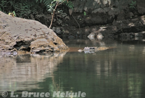 Siamese crocodile in Kaeng Krachan National Park