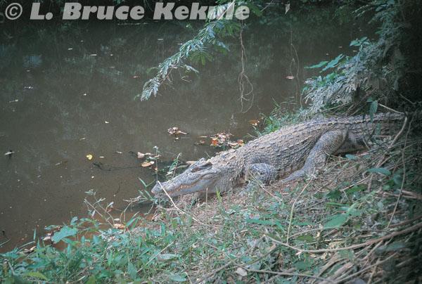 Siamese crocodile in Khao Ang Rue Nai