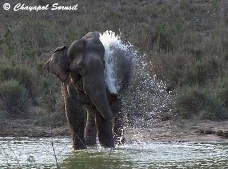 Elephant in Kuiburi
