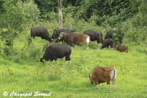 Mixed banteng and gaur herd in Kuiburi