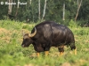 boonlue-pulnil-gaur-bull-in-kuiburi