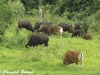 Mixed banteng and gaur herd in Kuiburi