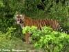 Tiger in Kuiburi