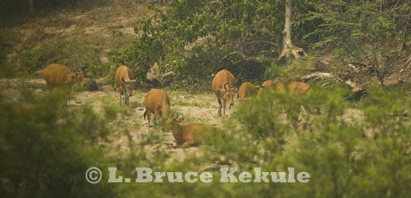 Banteng herd in Huai Kha Khaeng