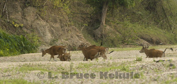 Banteng herd running on a sandbar in Huai Kha Khaeng
