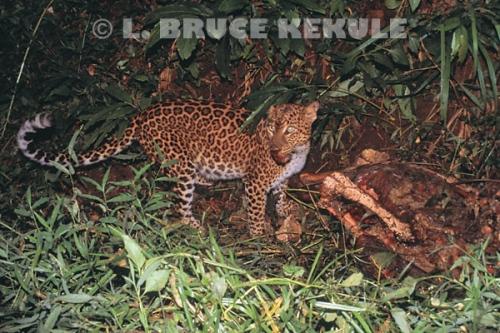 Asian leopard on sambar kill