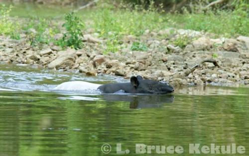 Asian tapir in Kaeng Krachan National Park
