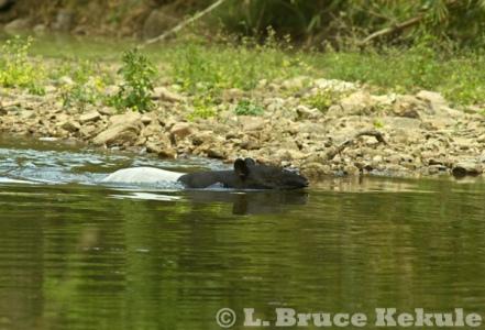 Asian Tapir in the Phetchaburi River