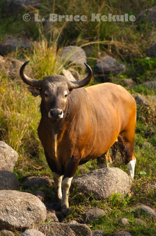 Banteng bull at a waterhole in Huai Kha Khaeng