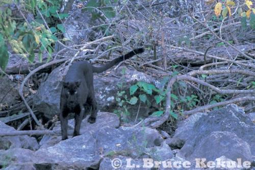 Leopard at a mineral lick