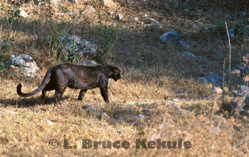 Black leopard in Huai Kha Khaeng Wildlife Sanctuary