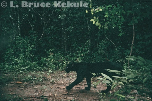 Black leopard camera trapped in Kaeng Krachan