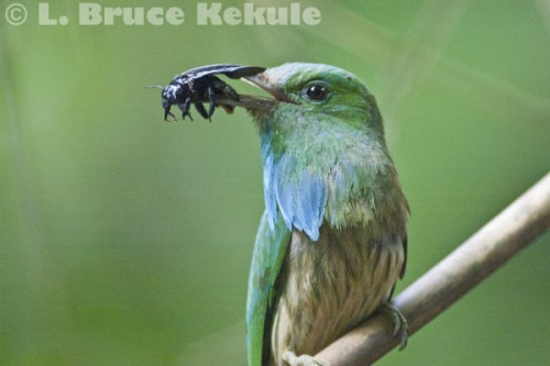 Blue-bearded bee-eater in Kaeng Krachan