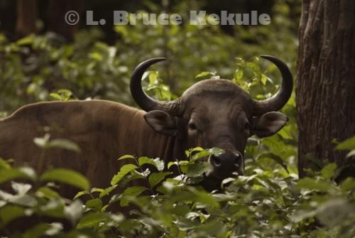 Captive Banteng Bull