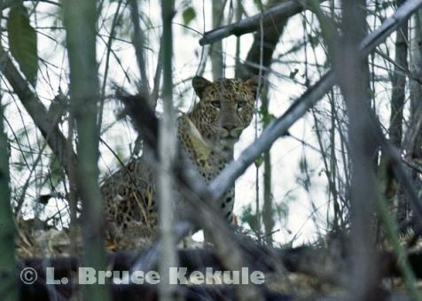 Leopard in bamboo in Huai Kha Khaeng