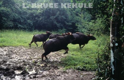 Gaur herd bolting in Kaeng Krachan National Park