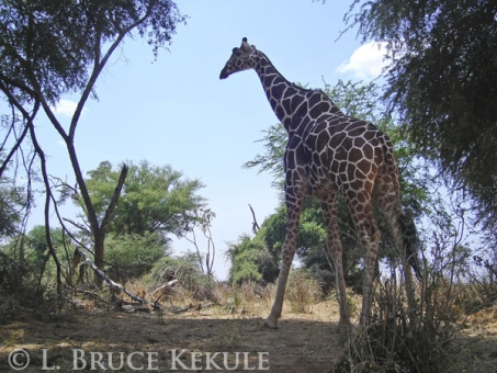 Giraffe camera-trapped in Samburu Game reserve, Kenya, Africa