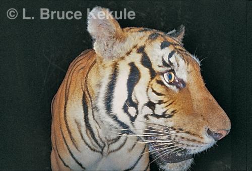 Indochinese tiger portrait