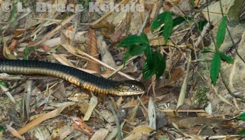 King cobra hunting by the Phetchaburi River